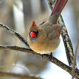 Northern Cardinal Female In Winter by Lyuba Filatova