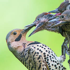 Northern Flicker at nest by Mircea Costina Photography