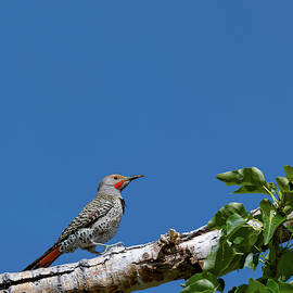 Northern Flicker Woodpecker by Mike Gifford