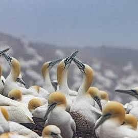 Northern Gannet Colony Bonaventure Island by Marlin and Laura Hum