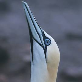 Northern Gannet Portrait Sky Pointing by Marlin and Laura Hum