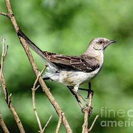 Northern Mockingbird Is A Perfect Model by Cindy Treger