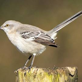 Mary Ann Artz - Northern Mockingbird