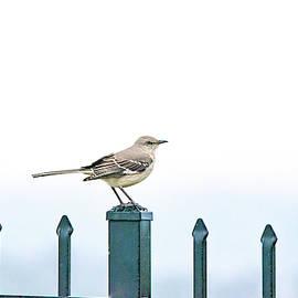 Northern Mockingbird on a Foggy Day by Mary Ann Artz