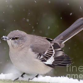 Kerri Farley - Northern Mockingbird With A Snow Beak