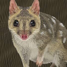 Northern Quoll 1 by Joan Stratton