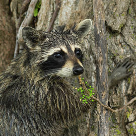 Northern Raccoon - 5839-S by Jerry Owens