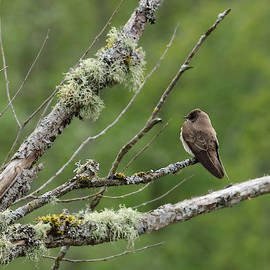 Northern Rough-winged Swallow by I'ina Van Lawick