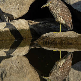 Nycticorax Reflection and Shadow by Bruce Frye