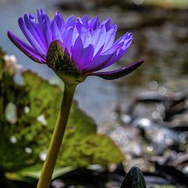 Nymphaea Nouchali by Susie Weaver