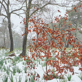 Oaks forest. Snowing into the woods by Guido Montanes Castillo