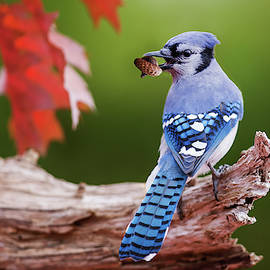 October Blue Jay  by Mircea Costina Photography