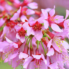 Okame Cherry Blossom Branch by Regina Geoghan