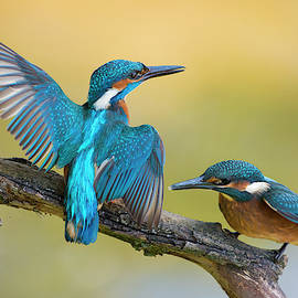 Ralf Kistowski - Old and young in conflict... Eurasian Kingfisher