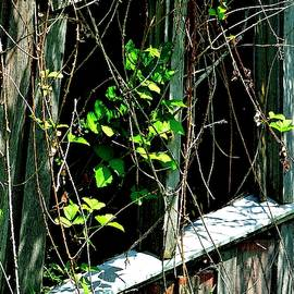 Old Shed Window And Green Vines by Jerry Sodorff
