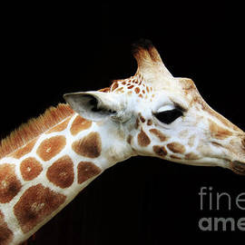 Olllie Giraffe by Karen Silvestri