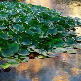 On Golden Pond - Water Lilies by Glenn McCarthy Art and Photography