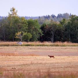 On the field when sun goes down. European roe deer by Jouko Lehto