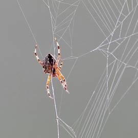 On the net. Diadem spider by Jouko Lehto