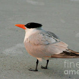 One Good Tern Deserves...Friends by Mariarosa Rockefeller