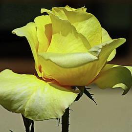 One More Yellow Rose by Lyuba Filatova
