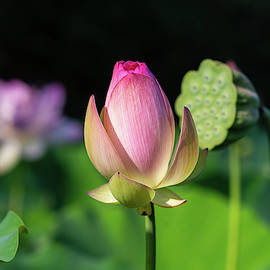 Opening Lotus by Carrie Goeringer