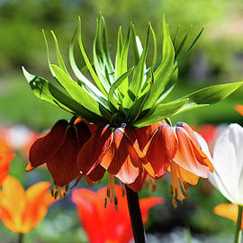 Orange and Green Tulip by Garrick Besterwitch