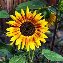Orange and Yellow Sunflower by Dana Hardy