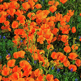 Orange Poppies of the California Superbloom of 2019 by Lynn Bauer