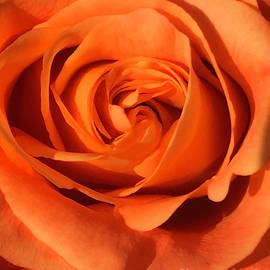 Orange Rose by Stephanie Hanson