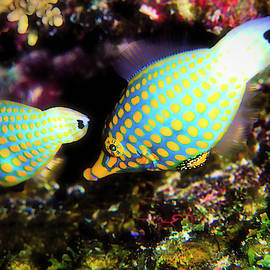 Orange Spotted File Fish by Christina Ford