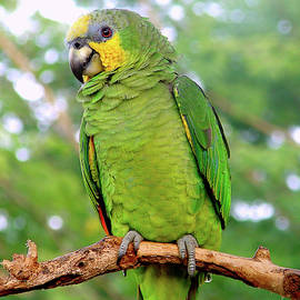 Blair Wainman - Orange winged Amazon Parrot