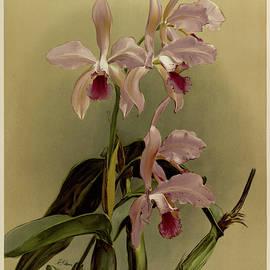 Orchid, Cattleya Victoria Regina by Henry Frederick Conrad Sander