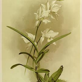 Orchid, Laelia Autumnalis Alba by Henry Frederick Conrad Sander