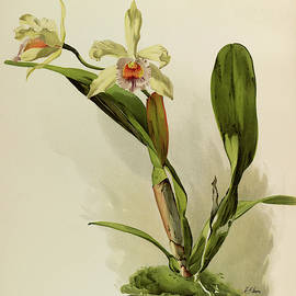 Orchid, Laelio, Cattleya Honble Mrs Astor by Henry Frederick Conrad Sander