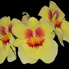 Orchid - Miltonia Andrea West 001 by George Bostian