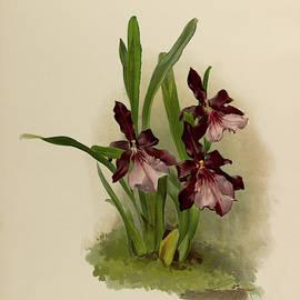 Orchid, Miltonia Moreliana by Henry Frederick Conrad Sander
