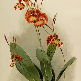 Orchid, Oncidium Kramerianum by Henry Frederick Conrad Sander