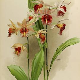 Orchid, Phaius Hybridus Amabilis, Marthiae by Henry Frederick Conrad Sander