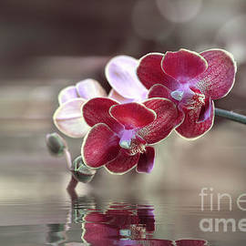 Orchid Reflection by Susan Warren