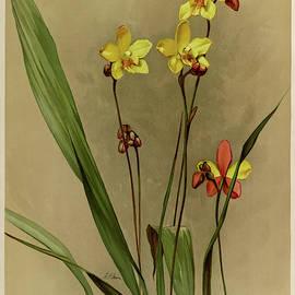 Orchid, Spathoglottis Kimballiana by Henry Frederick Conrad Sander