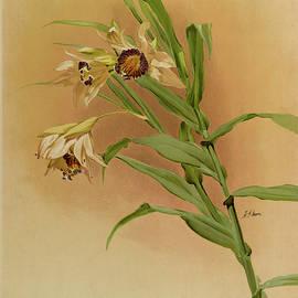Orchid, Thunia Brymeriana by Henry Frederick Conrad Sander