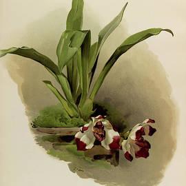 Orchid, Zygopetalum Klabochorum by Henry Frederick Conrad Sander