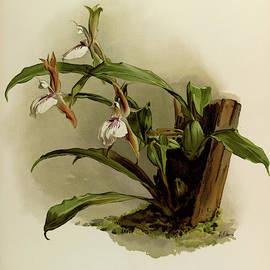 Orchid, Zygopetalum Rostratum by Henry Frederick Conrad Sander