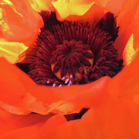 Oriental Poppy on Fire - Floral macro - Favorite flowers - Poppies by Brooks Garten Hauschild
