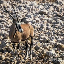 Oryx, Etosha National Park, Namibia by Lyl Dil Creations