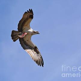 Osprey and Fish by Steve Brown