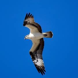 Osprey in Flight by Dana Hardy