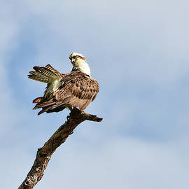 Osprey Keeping Tabs While Pruning by William Tasker