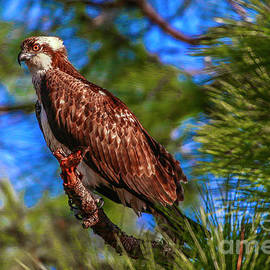 Osprey On Limb by Tom Claud